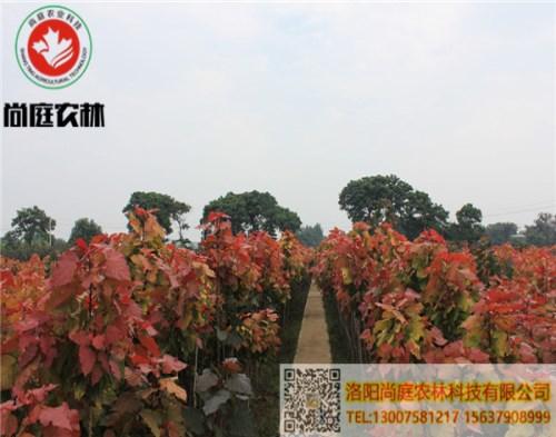绿化红叶杨价格_绿化工程树木盆景哪家好-洛阳尚庭农林科技有限公司