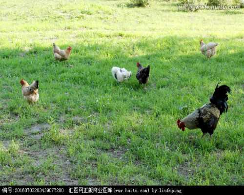 正宗土鸡养殖厂_95供求网