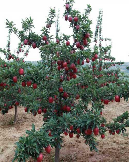 1公分苹果树苗_优质苹果价格相关