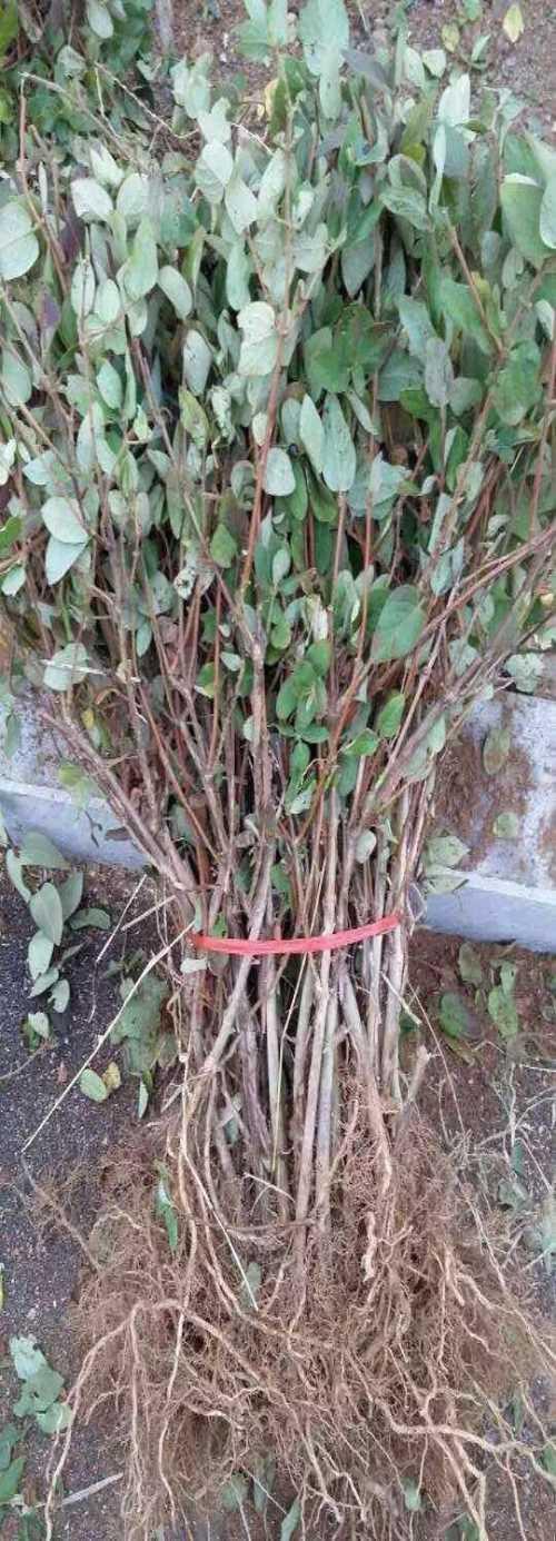 新乡豫花一号图片_出售花卉种子、种苗一亩利润多少-封丘县利达金银花种植专业合作社