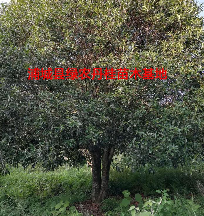 福建丹桂苗木_浦城县绿农丹桂苗木基地