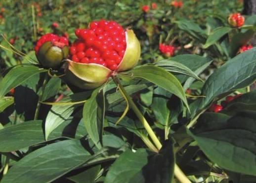 云南白及种子多少钱一斤_黄花其他种子、种苗