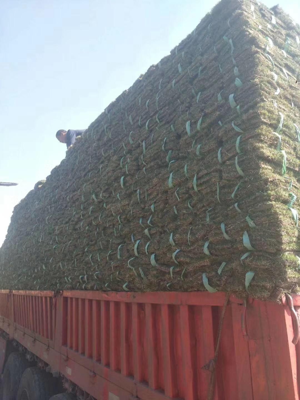 南平上海四季青草坪_南京草坪种植-句容市后白镇绿叶青草坪种植基地
