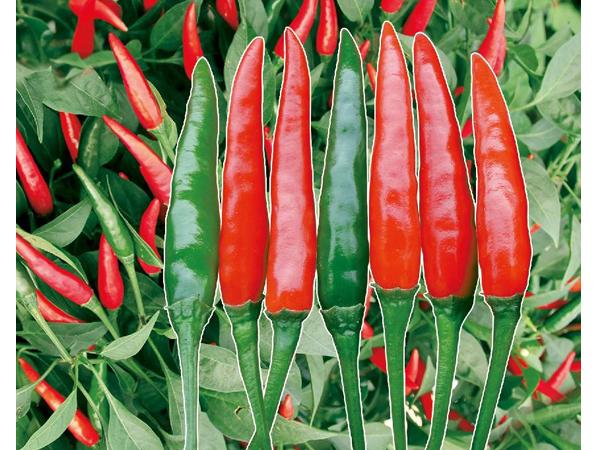 红焰朝天椒种子厂家_超高产其他种子、种苗