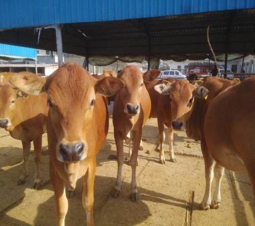 西门塔尔肉牛犊怎么卖_3月龄特种养殖动物多少钱一头