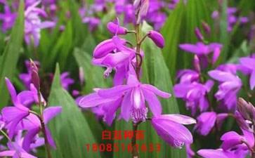 紫花白及的种植技术_16898网