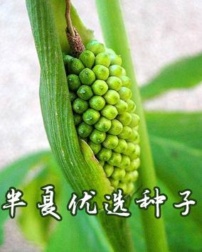 云南白及种子多少钱一斤_企领网