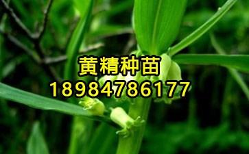 多花黄精种植前景_快卓网