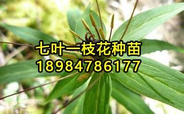 七叶一枝花种植_168商务网