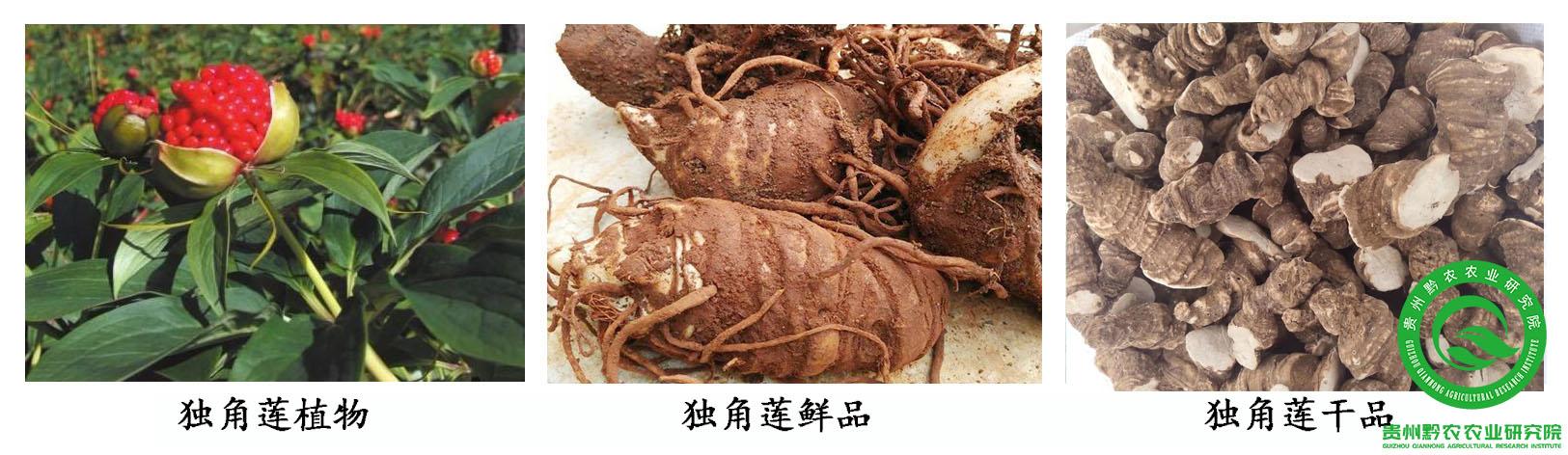 毕节白芨多少钱一斤_贵州黔农农业研究院