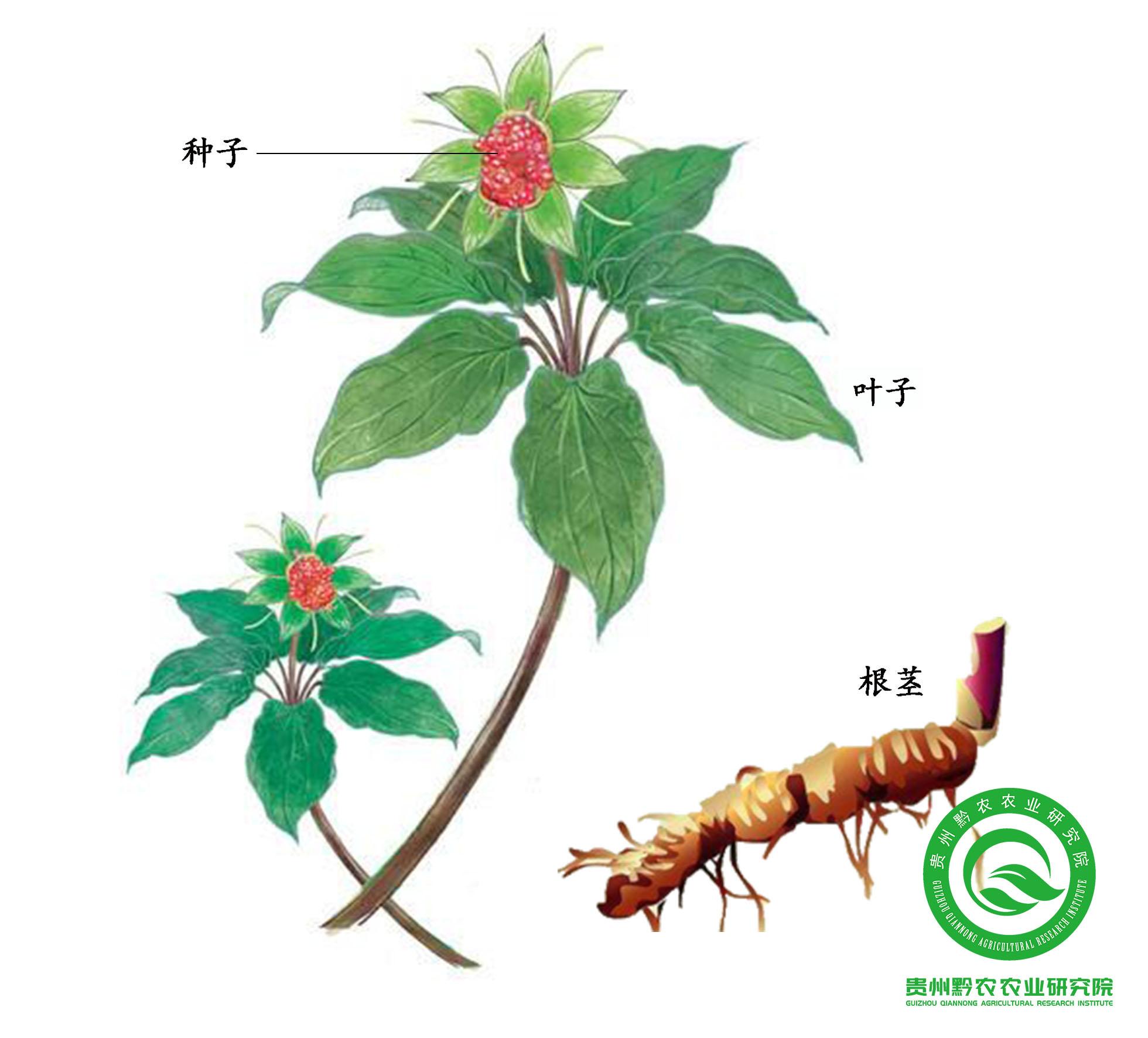 云南白及种子多少钱一斤_贵州黔农农业研究院