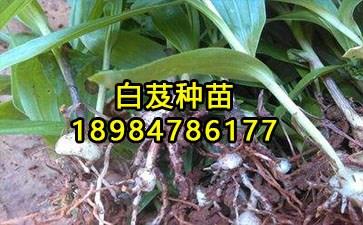 白及种植技术_168商务网