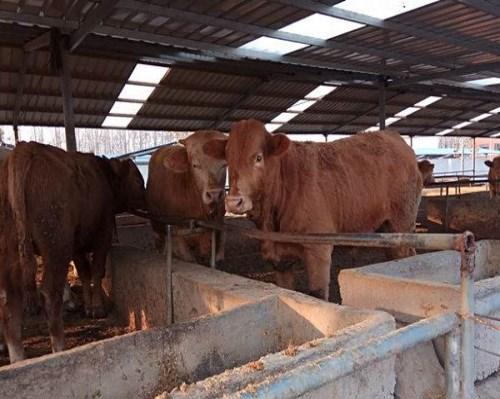 5个月肉牛崽怎么卖_西门塔尔特种养殖动物养殖合作社