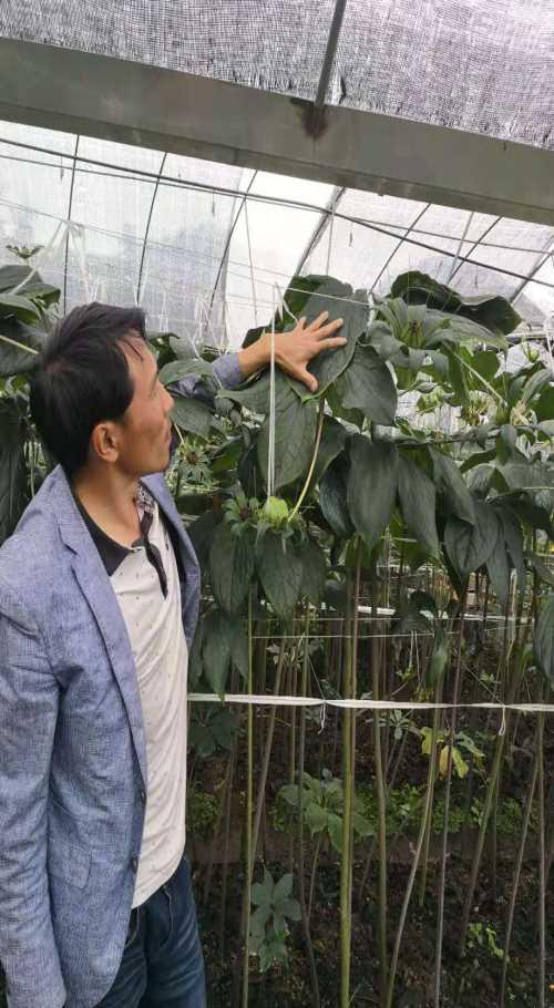德宏滇重楼种苗出售_百业信息网