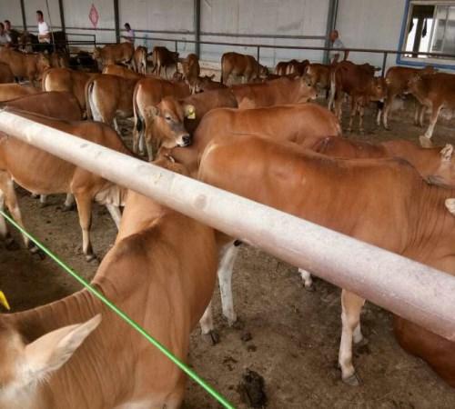广东黄牛场好不好_湖北特种养殖动物哪家规模大