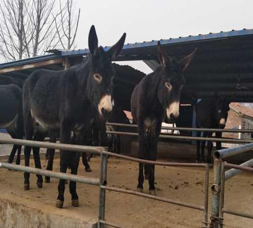 大型肉驴养殖场好不好_聊城特种养殖动物电话