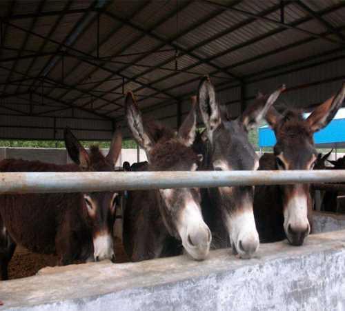 吉林养驴基地怎么样_黑龙江特种养殖动物哪里有