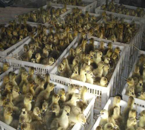 山西朗德鹅苗怎么卖_山东特种养殖动物化厂