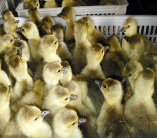 杂交鹅苗怎么卖_霍尔多巴吉特种养殖动物孵化厂