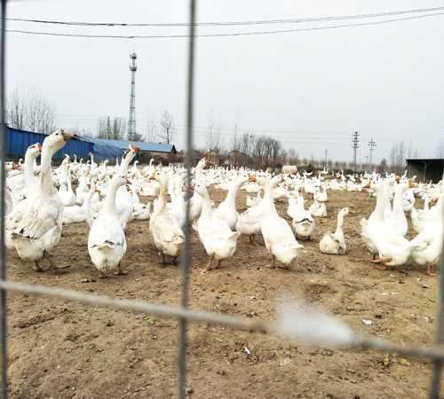 灰鹅种鹅批发价格_种鹅的养殖经验相关