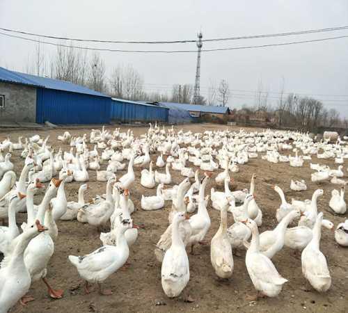 青海肉鹅养殖场_杂交特种养殖动物供应