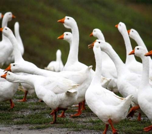 成鹅怎么卖_肉鹅特种养殖动物批发