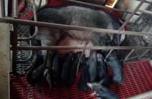 黑猪_伊比利亚黑猪相关-绵阳明兴农业科技开发有限公司