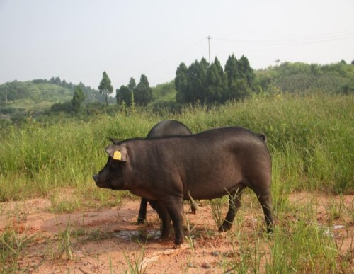 川藏黑猪_黑猪
