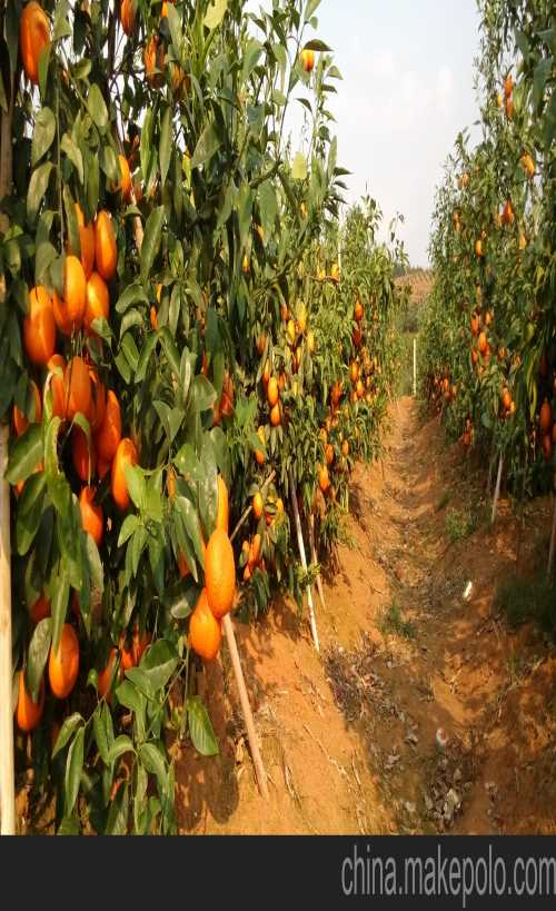 品质好的柑橘_柑橘类相关-绵阳明兴农业科技开发有限公司