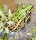 养一亩地青蛙的利润是多少_水产特种养殖动物养殖