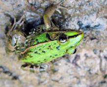 人工黑斑蛙价格_江苏特种养殖动物养殖技术-兴化市溢金塘黑斑蛙养殖专业合作社