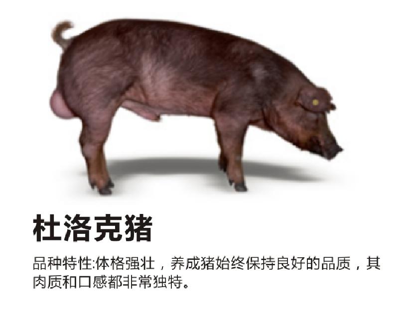 丹系种猪_种猪