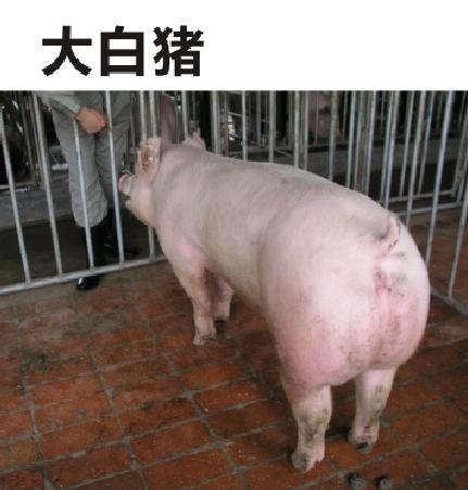 我们推荐知名美系种猪销售_美食佳肴相关-绵阳明兴农业科技开发有限公司