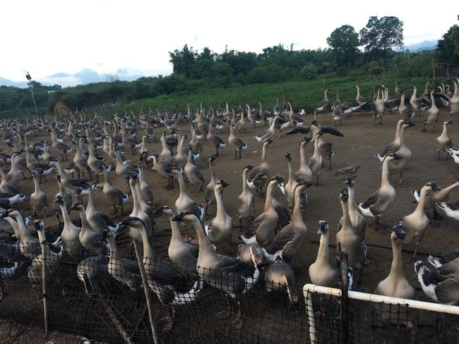 我们推荐湖南马岗鹅怎么卖_鹅蛋相关