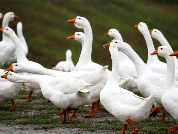 山东阳春鹅怎么卖_特种养殖动物苗多少钱一只