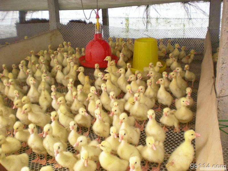 江苏反季节纯种三花鹅养殖基地_反季节杂交特种养殖动物苗孵化厂