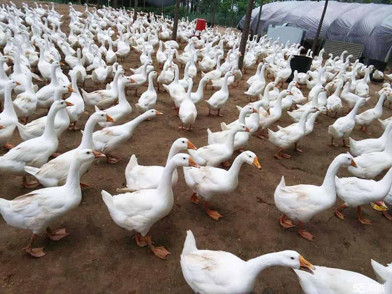 湖南反季节三花鹅苗价格_反季节杂交特种养殖动物养殖场电话