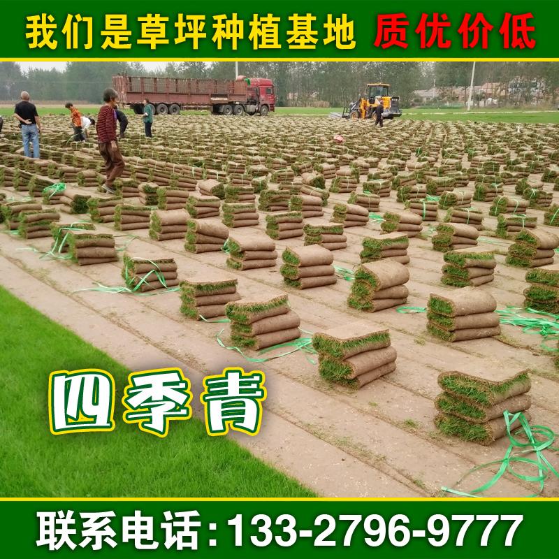 提供四季青草坪种子_护坡草坪绿化