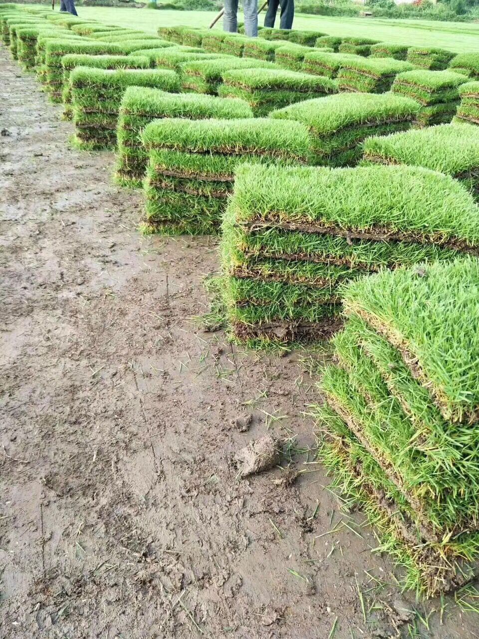 济南百慕大草坪出售_百慕大草坪种子相关-句容市后白镇绿叶青草坪种植基地