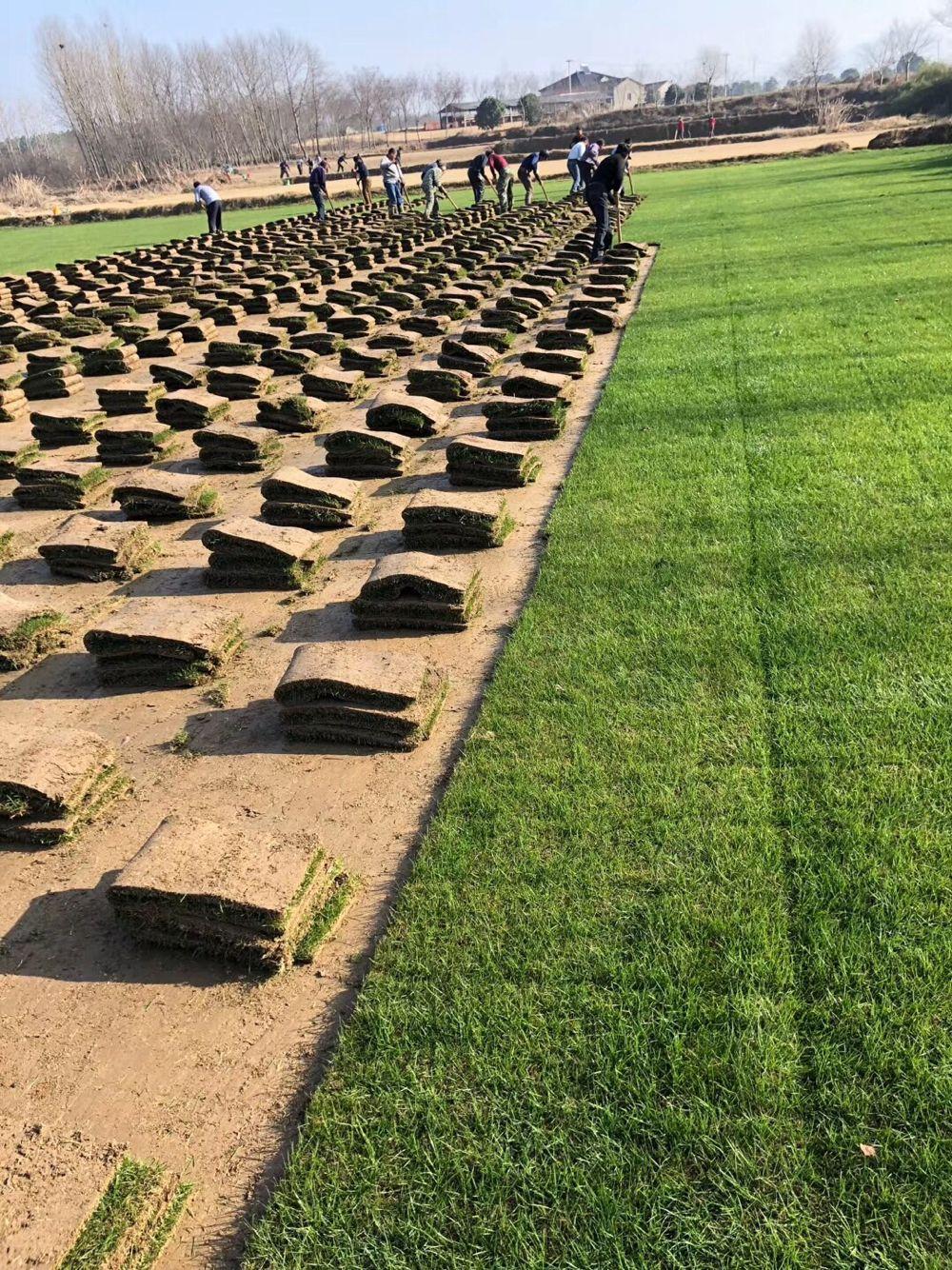 江苏马尼拉草坪采购_质量好草坪批发-句容市后白镇绿叶青草坪种植基地