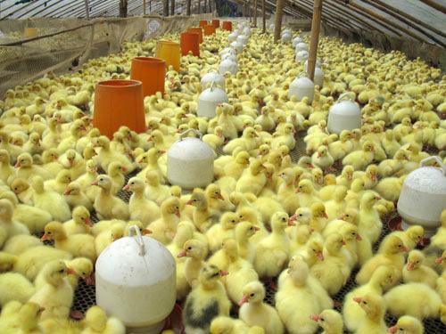 云梦鹅蛋到哪买_宜城鹅市场价格