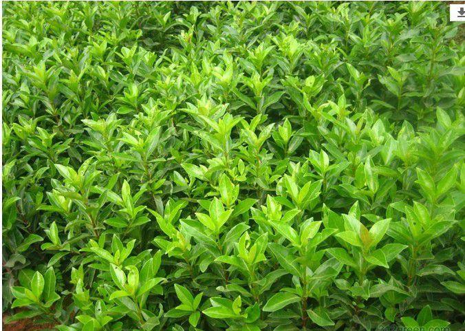 纽荷尔柑橘苗基地_ 柑橘苗出售相关-简阳市林园苗木种植专业合作社