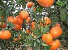 甘平柑橘苗种植基地_四川花卉种子、种苗基地-简阳市林园苗木种植专业合作社