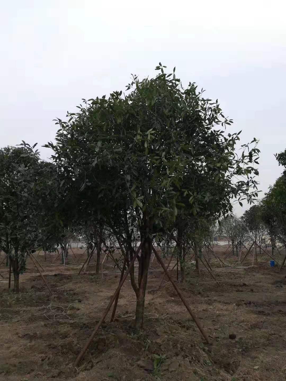 新乡园林苗木生根液_简阳 苗木相关-新乡市华菱园林有限公司
