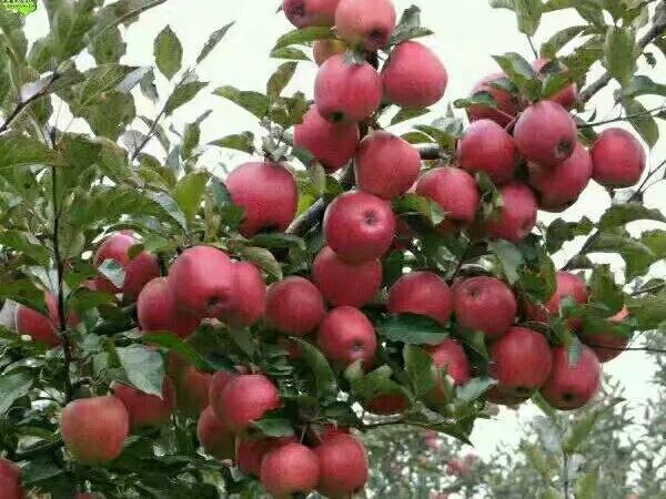 甘肃优质苹果树苗基地_红心苹果树苗相关-内黄县中召乡圆梦家庭农场