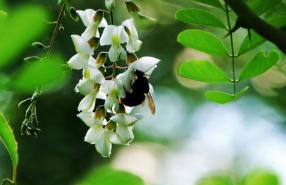 广西质量好的洋槐蜂蜜原料采购_洋槐蜂蜜原料销售相关-武汉市华明达蜂业有限公司