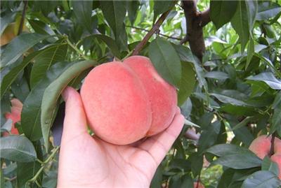 晚湖景桃子苗多少钱一棵_其它商务服务相关-简阳市林园苗木种植专业合作社