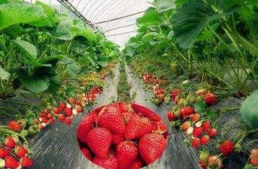 草莓温室大棚价格_进口温室、大棚销售-长沙市绿地棚业有限公司