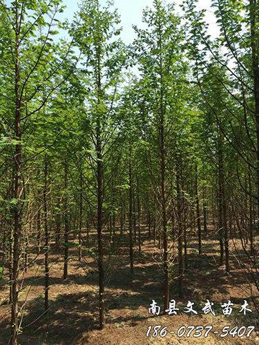 我们推荐垂柳小苗批发_10公分垂柳多少钱相关-南县文武苗木种植专业合作社