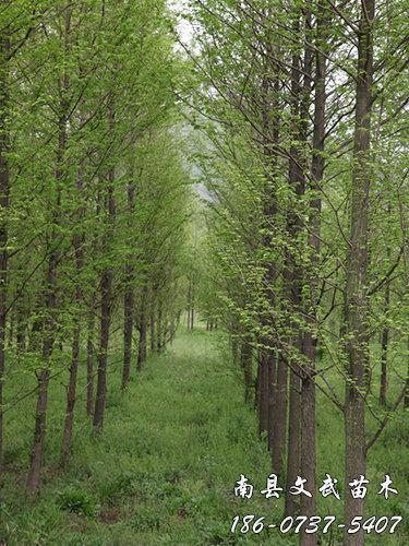 落羽杉报价_10公分其他绿化苗木价格-南县文武苗木种植专业合作社
